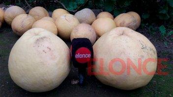 El secreto que esconden los pomelos gigantes cosechados en Paraná