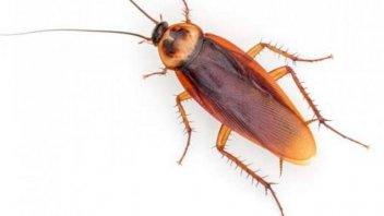 Un estudio advierte que las cucarachas se están volviendo