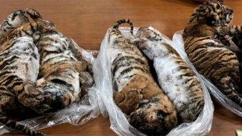 Detuvieron a traficante de animales con siete cachorros de tigre congelados