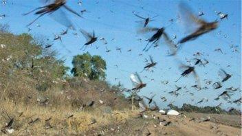 Videos: Preocupa la invasión de mangas de langostas y el ataque a cultivos