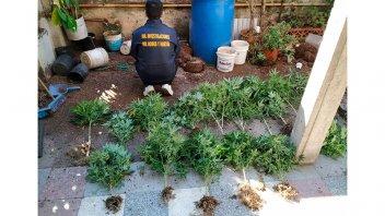 Desmantelaron un invernadero de marihuana en allanamiento por robo