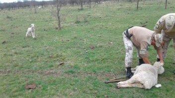 Mataron cinco ovejas a garrotazos en un campo entrerriano