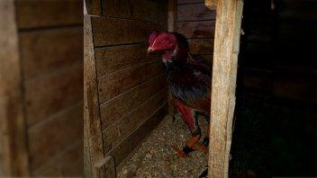 Allanaron una propiedad donde realizaban riñas de gallos