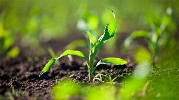 Productores entrerrianos deben cosechar 4.850 kg/ha para cubrir costos en maíz