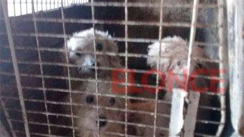 Rescatan caniches que vivían