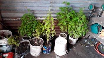 Secuestraron plantas de marihuana durante un allanamiento por robo
