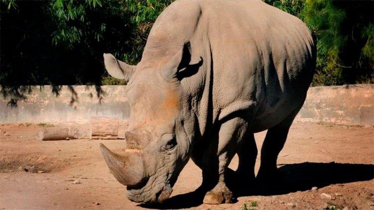 Murió Gaspar, el último rinoceronte que quedaba en el ex zoológico porteño